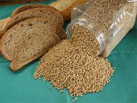 grain-triticale[1]